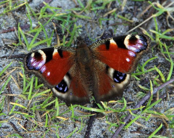 sommerfugl_1_web